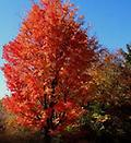 "Red Maple - Red Maple 36-48"" Sold in bundles of 10, 25 or 50, Height: 40-60 ft. Rapid growth rate that can adapt to a wide range of soil conditions. Fall colors vary from yellow to scarlet."