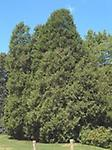 """White Cedar Transplant - White Cedar Transplant, 15-24"""" Tall, Bare Root Husky Transplant (Mature Height: 40-50 ft. can be trimmed as a hedge. Prefer loam or moist sandy soil, typically grows in poorly drained swamps."""
