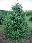 White Spruce Husky - 2'+ Tall bare root Stock. Reaches heights of 40-60 ft when fully mature. Likes full sun best but can handle partial sun. Good wildlife tree and windbreak tree.