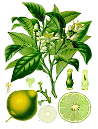 Bergamot (Citrus Bergamia) 1/2 oz. Organic Everyone loves its fruity, refreshing and lively but gentle flowery fragrance. Traditionally, used for depression, anxiety, and stress related conditions.