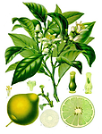 Bergamot (Citrus Bergamia) 1/2 oz. Organic - Everyone loves its fruity, refreshing and lively but gentle flowery fragrance. Traditionally, used for depression, anxiety, and stress related conditions.