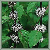 Peppermint Essential Oil (Mentha Piperita) Organic 1/2 oz. Our lovely organic Peppermint essential oil, can be cooling and wonderful to wake you up and clear the mind! Add to a Kleenex and inhale or dilute and apply to temples and the back of the neck.