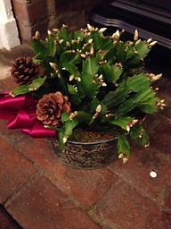Christmas Cactus This beautiful gives long lasting blooms at Christmas and again in the spring.
