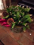 Christmas Cactus - This beautiful gives long lasting blooms at Christmas and again in the spring.