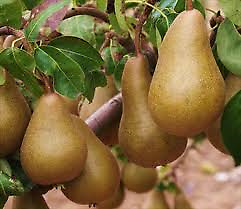 Bosc Pear Reaches 10-15' at maturity in about 5-10 years; excellent for eating fresh and widely used in the kitchen