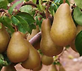 Bosc Pear - Reaches 10-15' at maturity in about 5-10 years; excellent for eating fresh and widely used in the kitchen