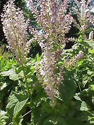 Clary Sage (Salvia Sclarea) 1/2 oz. This sweet, warm scented oil is a favorite for aroma therapist's everywhere. Known for its sudorific, anti-anxiety properties, and its use in assisting with menopausal symptoms.
