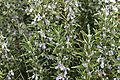 Rosemary (Rosemarinus Officinalis) 1/2oz. - Rosemary is a lovely scent that wakes you right up, very stimulating. It is a good cleanser for the skin. Has wonderful pain relieving qualities. Indeed, it is a cleanser for the auric field, etc.