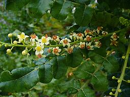 Frankincense (Boswellia Carteri) 1/4 oz. This Ancient healing oil is very prized throughout antiquity and has many uses. Obvious uses would include meditation, anointing, diffusion for inhalation. Helpful for colds and flu's, and other use
