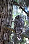 LOPEZIAN - Barred Owl on Whatmough Park, Lopez Island, WA.