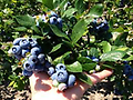 Earliblue Blueberries - Deliciously sweet eaten fresh, or when flavor is captured in pie or preserves. To improve pollination, plant at least two varieties. Firm, large berries with resistance to cracking. Early season