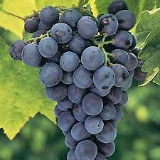 Concord Grape (Seedless) Large blue-black, seedless grapes formed in clusters or bunches. Excellent, distinctive flavor and used for grape jelly, grape juice, table, and wine.