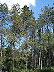 Red Pine Husky - 2 - 3 feet bare root stock. Reaches 66 - 115 feet tall. It's self pruning and does not have dead branches on the trunk.