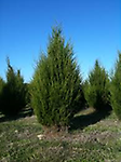 "Red Cedar - Sold individually, 18-24"" tall. 3-0 transplant A dense, slow growing tree that can reach 16 - 60 feet tall. Seeds are berry like that have a blue colored waxy appearance."
