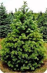 """Concolor Fir Transplant transplant 10-15"""", (2-0) mature height: 30-50 ft., also known as white fir, dense pyramidal tree has soft blue-green needles and is very hardy growing in a variety of well drained soils and temps."""
