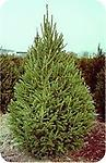 Norway Spruce Husky - Norway Spruce Husky Transplant 2-3' Tall Bare Root Husky Transplant, Mature Height: 60-90 ft. Moderate to fast growing, prefers moist clay to loam soils but can be planted in a variety of soils