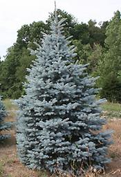 "Blue Spruce Seedling Blue Spruce Seedling 10-15"" Tall Bare Root, Mature Height: 80-100 ft. Slow to moderate growth. Prefers rich, moist soils, moderately shade tolerant."