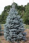 "Colorado Blue Spruce Transplant - Colorado Blue Spruce Transplant 15-24"" Tall Bare Root 2-2 Transplant, Mature Height: 80-100 ft. Prefers rich moist soils, moderately shade tolerant. Sold individualy"