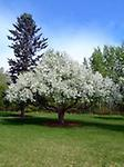 Manchurian Crabapple - Excellent pollinator - Beautiful white flowers in the spring. Can be used for windbreaks, valuable for wildlife for both food and shelter. Fruit can be used fresh, dried, or made into jams and jellies