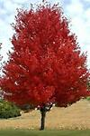 """Flame Maple - Flame maple 18""""-24"""" tall brilliant fall foliage, pale white flowers in spring, cold hardy, prefers well drained soil"""