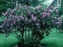 """Common Lilac 10-18"""" Perennial shrub adaptable to a variety soil types, somewhat drought tolerant, beautiful purple flowers. Quantity discounts - click on drop down below Sold in Bundles of 10, 25 or 50"""