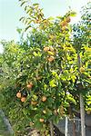 "Persimmon - 18-24"" tall, Small fruit bearing tree (30-50 ft). In summer, this species produces fragrant flowers. Fruit: pale orange color, often red-cheeked; turning yellowish brown after freeze."