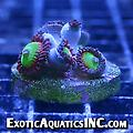 Candy Apple Red - Multiple Polyps