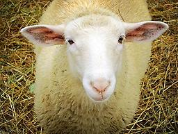 OPPV (Visna-maedi virus) - Sheep Ovine Progressive Pneumonia Virus (OPPV) testing for sheep. Supplies not included in price. Supplies available for additional cost. Call 888-837-8362 for supplies.