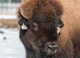 BVDV-PI - Bison Bovine Viral Diarrhea Virus - Persistently Infected - Bison