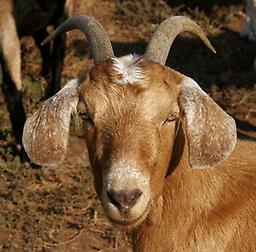 CL - Goats/Sheep Caseous lymphadenitis (CL) testing for goats and sheep. Supplies not included in price. Supplies available for additional cost. Call 888-837-8362 for supplies.