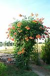 Trumpet Vine - Rootstock; known for its attractiveness to hummingbirds; beautiful tubular flowers ranging from red/yellow/orange; spring bloom that lasts all summer; grows quickly so some pruning needed.