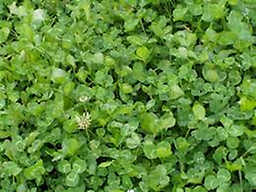 Clover for Days A mixed blend of white clover, red clover, crimson clover and chicory. A 7# bag will plant 1/2 - 3/4 of an acre. Plant between May - June or August - September