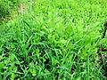 Forage Queen - A mix of oats, radishes, turnips and rape seed. A 20# bag plants 1/4 - 1/2 acre. Plant between August and September