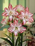 AMARYLLIS Blossom Peacock FALL SHIPPING - Large Flowered Double