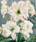AMARYLLIS Aphrodite SHIPPING FALL 2019 - Large Flowered Double