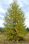 "Tamarack Transplant - 18-30"" mature height 30-60 ft. tall, bark is flaky with brown/grey color. Needles turn yellow in fall and drop like leaves. Grows back in spring to light green color."