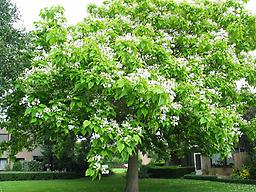 "Catalpa 18-24"" flowering tree typically growing to 35-55 ft., large heart-shaped foliage that provides preferred habitat for birds. Flowering begins between 3-5 years (white/yellow). Durable tree in all soils"