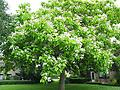 "Catalpa - 18-24"" flowering tree typically growing to 35-55 ft., large heart-shaped foliage that provides preferred habitat for birds. Flowering begins between 3-5 years (white/yellow). Durable tree in all soils"
