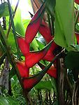 Cuts: Lobster Claw Heliconia - Vibrant Red with green margin