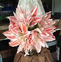 AMARYLLIS Dancing Queen FALL SHIPPING - Large Flowered Double