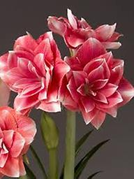 AMARYLLIS Double Dream SHIPPING SPRING 2019 Large Flowered Double