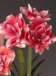 AMARYLLIS Double Dream FALL SHIPPING - Large Flowered Double