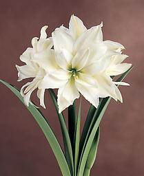 AMARYLLIS Marquis SHIPPING FAll 2018 Large Flowered Double