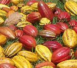Fresh Cacao Pods HAWAII SHIPPING ONLY Fresh Cacao Pods From Big Island Chocolate Co.