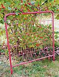 red Garden Gate - Metal gate for decorative use. 27 1/4 w x 35 3/4 tall Not available for shipping