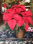 Christmas Poinsettia - Perfect gift or addition to get in the Christmas spirit - 10 in. shown - $60.00