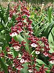 Orchids: The Chocolate Orchid - Onc. Sharry Baby 'sweet fragrance'