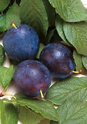 Bluebyrd Plum 5-6 ft Bareroot stock. Fruit is blue with amber flesh, medium to large in size with excellent flavor and high sugar content. Tree is vigorous and is resistant to black rot. Requires cross-pollination.