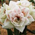 AMARYLLIS Nymph SHIPPING FALL 2018 NEW! - Large Double Flower