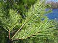 """White Pine Transplant - White Pine Transplants 18-24"""" tall, Bare Root 3-0 Transplant, Mature Height: 80-120 ft. Moderate to fast growing. Prefers rich, porous, moist to well drained sandy soils."""
